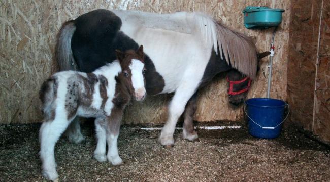 Çankaya Pony Park'ta ''Bebek Pony'' Sevinci