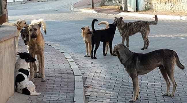 KAN DONDURAN İDDİA! Ankara'da Köpekleri Önce Zehirlediler Sonra...