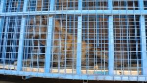 Suriye'deki Yaban Hayvanları Artık Güvende