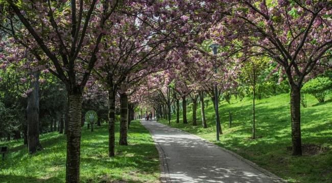 Dikmen Vadisi ''Sakura'' İle Büyülüyor