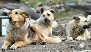 Sokak Hayvanları Sorunu Çözülüyor... Başkent'in 4 Noktasına Hayvan Barınakları Geliyor!