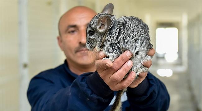 Güney Afrika Tavşanı Çinçillalar Ankara'da Koruma Altında