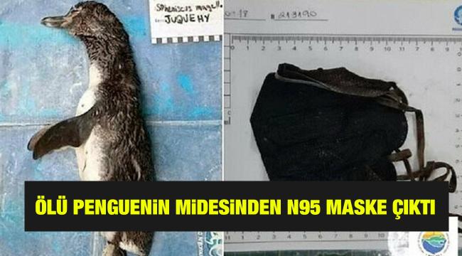 Ölü penguenin midesinden N95 maske çıktı
