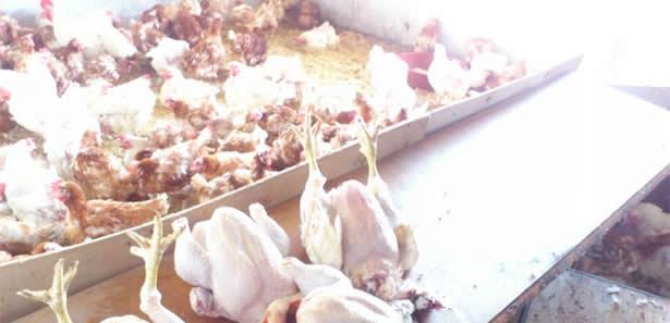 Keçiören'de Kaçak Tavuk Kesimi Yapan Yere Baskın