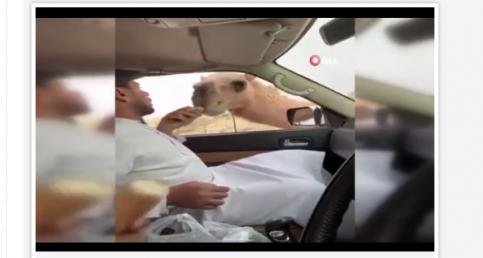 BAE'de aç kalan develer yolcuların ekmeğini yedi
